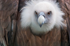 A griffon vulture at Kiev Zoo Stock Images