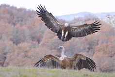 Griffon vulture landing on the meadow. Stock Images