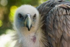 Griffon Vulture looking. Griffon Vulture sitting in the shadow and looking Stock Photography