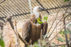Griffon vulture looking closely, Gyps fulvus.  Stock Photo