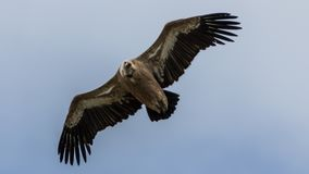 Griffon Vulture looking directly at camera. A curious vulture looking directly into my lens. He was probably wondering what I was doing on his mountain Royalty Free Stock Photo