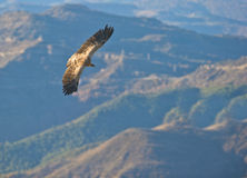 Griffon Vulture: master of the sky Stock Photo