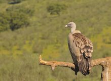 Griffon vulture in the meadow of Extremadura. Royalty Free Stock Photos