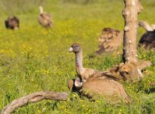Griffon vulture in the meadow of Extremadura. Stock Image