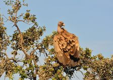 Griffon vulture in the meadow of Extremadura. Royalty Free Stock Images