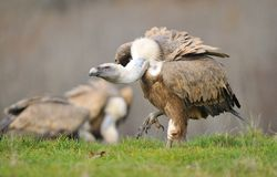 Griffon vulture in the meadow of Leon. Royalty Free Stock Photo