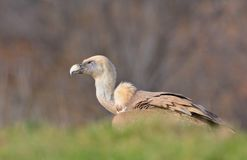 Griffon vulture in the meadow of Leon. Royalty Free Stock Images