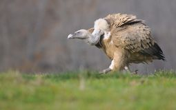 Griffon vulture in the meadow of Leon. Royalty Free Stock Photography