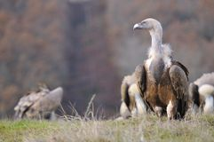 Griffon vulture in the meadow of Leon. Royalty Free Stock Image