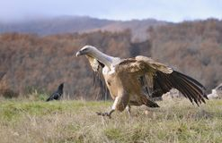 Griffon vulture in the meadow of Leon. Stock Photo