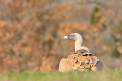 Griffon vulture in the meadow. Royalty Free Stock Photo