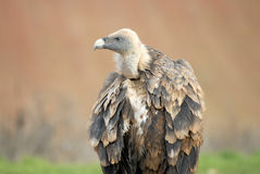 Griffon vulture and natural landscape Royalty Free Stock Images