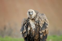 Griffon vulture and natural landscape Stock Image