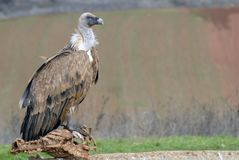 Griffon vulture and natural landscape Stock Photo