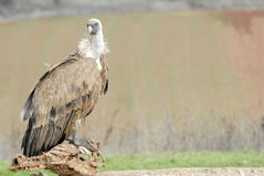 Griffon vulture and natural landscape Royalty Free Stock Image