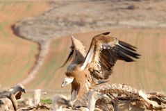 Griffon vulture and natural landscape Stock Photos
