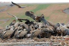 Griffon vulture and natural landscape Stock Image