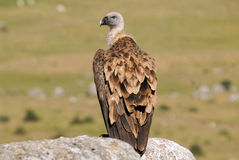 Griffon vulture and natural landscape Stock Images