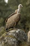 Griffon vulture and natural landscape Royalty Free Stock Photos