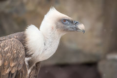 Griffon Vulture Royalty Free Stock Images