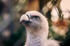 Griffon Vulture no jardim zoológico Imagens de Stock