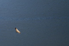 Griffon Vulture over water Stock Photos