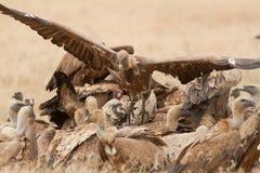 Griffon Vulture på ett kadaver Fotografering för Bildbyråer
