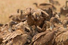 Griffon Vulture på ett kadaver Arkivfoto