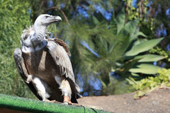 Griffon Vulture in a park Royalty Free Stock Image