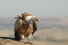 Griffon vulture perched Royalty Free Stock Photo