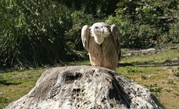 Griffon Vulture perched over a rock Stock Image