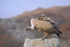 Griffon vulture perched on a stone Stock Photography