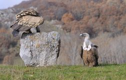 Griffon vulture perched on a stone Royalty Free Stock Image