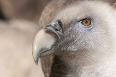 Griffon Vulture Portrait Royalty Free Stock Photos