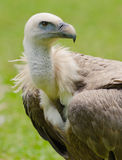 Griffon vulture portrait Royalty Free Stock Images