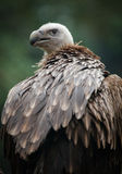 Griffon Vulture Stock Photography