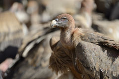 Griffon vulture portrait Stock Photography