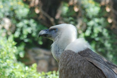 Griffon vulture in a portrait. Estremadura, Griffon vulture in a detailed portrait Stock Photos