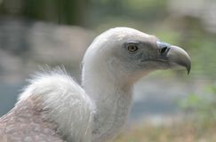 Griffon vulture portrait Stock Photos