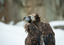 Griffon Vulture - Portrait in winter Royalty Free Stock Image