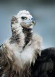 Griffon Vulture - Portrait in winter Stock Image