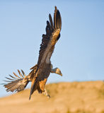 A Griffon Vulture prepares to land Stock Photos