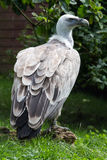 Griffon vulture profile. Griffon vulture in captivity sitting on a log against a tree background Stock Images