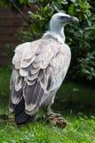 Griffon vulture profile Stock Images