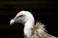 Griffon Vulture Profile sul nero Immagine Stock
