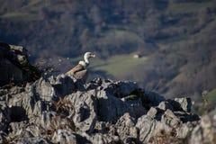 Griffon vulture on the rocks stock image