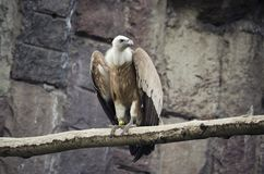Griffon Vulture s'asseyant sur une branche, oiseaux sauvages en captivit? photographie stock