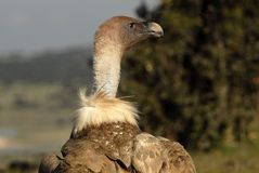 Griffon Vulture Scavenger's head Royalty Free Stock Photos