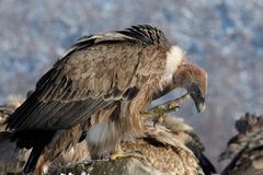 Griffon Vulture Scratching In Winter Landscape