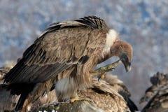 Griffon Vulture Scratching nel paesaggio di inverno Fotografia Stock